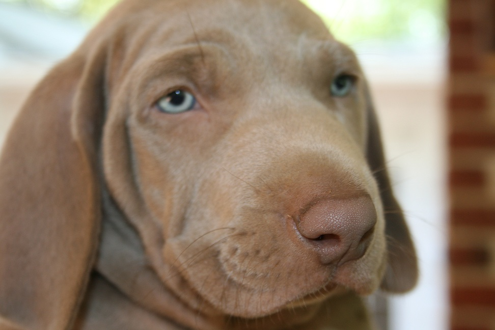 The new vicious beast – Alfred the puppy…